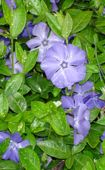 Click to download dwarf periwinkle information